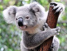 50 Australia S Cute Animals Koalas Ideas In 2020 Koalas Cute Animals Animals