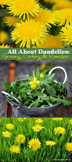 All About Dandelion: Growing Cooking & Remedies image ideas from Health Remedies Tips Healing Herbs, Medicinal Plants, Natural Healing, Natural Home Remedies, Herbal Remedies, Dandelion Recipes, Edible Wild Plants, Wild Edibles, Growing Herbs