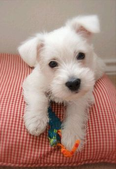Westie puppy( I love that little heart nose)!
