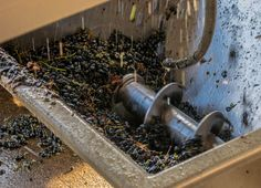 #wine #crushing #grapes