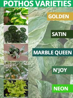 Exceptional Veg garden detail are offered on our website. Have a look and you wont be sorry you did. Indoor Shade Plants, Outdoor Plants, Veg Garden, Garden Plants, Potted Plants, Growing Flowers, Planting Flowers, Pothos Plant Care, Golden Pothos