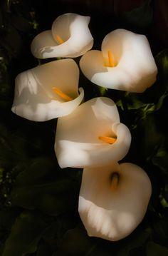 Dreamy Lilies ~  by Mick Burkey