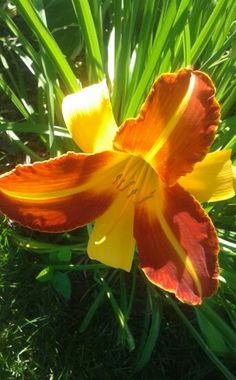 Two toned lily