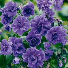 Geranium Himalayense Birch Double- for front gardens as a groundcover/border planting