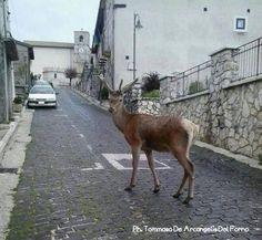 Cucciolo di cervo a spasso per le strade di Opi