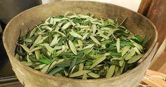 Recept napsaný v Bibli - Mocný 3500 let starý lék, co léčí všechny nemoci