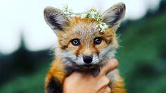 "Everything Fox - everythingfox: ""Red Fox"" - by Tim King"