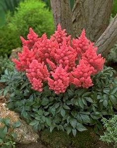 Astilbe -- one of the easier perennials for a shade garden.  They don't like dry or clay soil.   Good in a little bit wet areas.