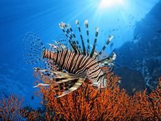 Picture of red lionfish, Great Barrier Reef, Australia