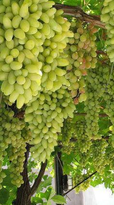 Fruit of Fall Sweet green grapes! Fruit And Veg, Fruits And Vegetables, Fresh Fruit, Fruit Garden, Garden Trees, Buffet Party, Grape Trellis, Fruit Photography, Beautiful Fruits