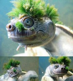 This is the Mary River turtle (Elusor macrurus), and its green mohawk is made up of algae. This often covers the shell as well as the head, and helps to camouflage the animal.