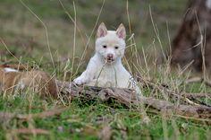 """Ghost"" - white Alpine Dingo pup"