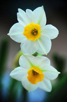 Narcissus 水仙 | Flickr - Photo Sharing!