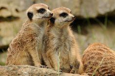 suricata Brown Bear, Kangaroo, Animals, Pictures, Baby Bjorn, Animales, Animaux, Kangaroos, Animal