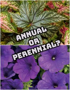 Ever wondered about the life cycle of the plants in your garden? Annuals complete that cycle in one growing season, whereas perennials live on for three years or longer. #gardening #annuals #perennials #plants