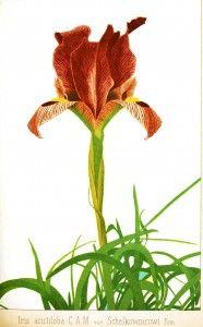 Botanical - flower - iris - Russian 2