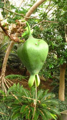 Seed pod of Barringtonia asiatica (Lecythidaceae, sea poison tree, fish poison tree, hotu, hutu, shaving brush tree)