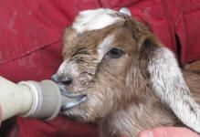 How to Bottle Feed Goat Kids