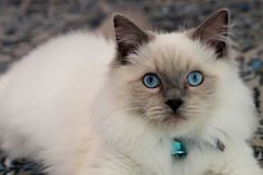 Ragdoll Kittens Cutest, Cats And Kittens, Cute Cats, Lhasa Apso, Pretty Cats, Beautiful Cats, Blue Point Ragdoll, Kitten Breeds, Cat With Blue Eyes