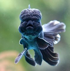 tiny-creatures: Black Goldfish by Chi Liu on. Lionhead Goldfish, Oranda Goldfish, Underwater Creatures, Underwater Life, Beautiful Creatures, Animals Beautiful, Black Goldfish, Goldfish Types, Carpe Koi
