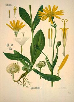 Arnica montana L., Mountain arnica - Medicinal Botanical Plants