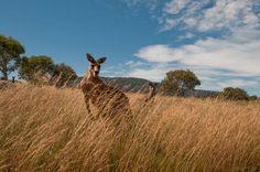 Kangaroos -- Australia