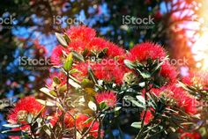 New Zealand Native Metrosideros Excelsa with Solar Flare. New Zealand, Native Plants, Flower Photos, Image Now, Christmas Time, Nativity, Flora, Royalty Free Stock Photos, Gardens