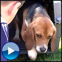 Beagles See Sun and Grass for the First Time After a Life in a Laboratory - Animals Video