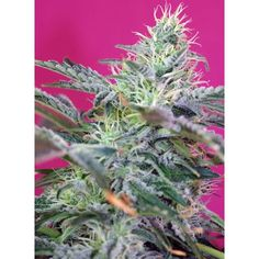 Semillas de marihuana Sweet Cheese autoflorecientes de Sweet Seeds al mejor…