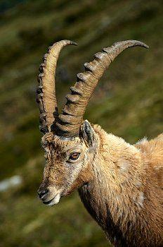 Alpine Ibex ( Capra Ibex ) im Niederhorn Gebirge Ibex Animal, Animal 2, Animals With Horns, Animals And Pets, Alpine Ibex, Animals Images, Animal Pictures, Beautiful Creatures, Animals Beautiful