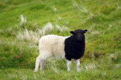 Black n White Sheep
