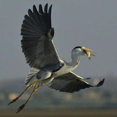 Grey Heron With Catch. Photo by ankur_moitra (Instagram)