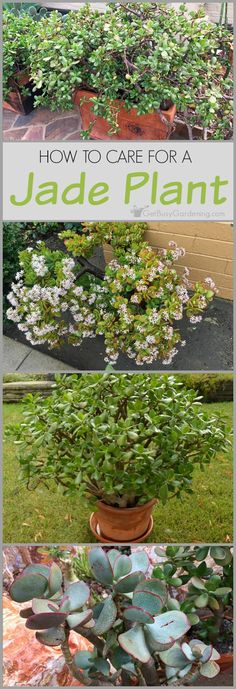 103 Best Jade Plants Images On Pinterest In 2018 Succulent Plants
