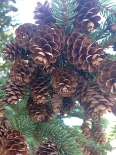 Pine cones shared by Ʈђἰʂ Iᵴɲ'ʈ ᙢᶓ on We Heart It Conifer Cone, Christmas Plants, Cone Trees, Pine Cone Decorations, Pine Cone Crafts, Magnolia Flower, Exotic Plants, Cool Plants, Pine Cones