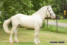 Breed - Sugarbush Draft Horse, American Cream Draft Horse Registered name: - Jokers White Russian Color -Gold Cream Champagne (cream AND champagne genes)