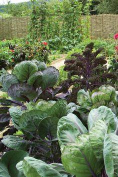 Brussels Sprouts 'Rubine' growing in the veg garden at Perch Hill