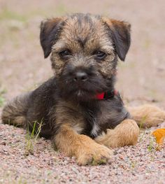 Adorable Little Baby Border Terrier Puppy - Aww! Border Terrier Puppy, Terrier Puppies, Terriers, Beautiful Dogs, Animals Beautiful, Cute Animals, Cute Puppies, Dogs And Puppies, Cute Dogs