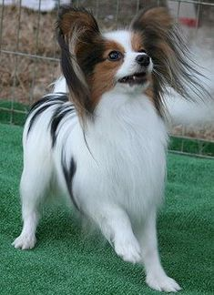 Papillons are so cute! Love those butterfly ears and their dainty look. They do well in obedience too.