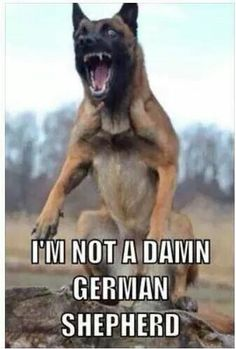 #MalinoisProblems. A common misconception!