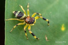 Jumping spider (Thiania sp.) - DSC_2778