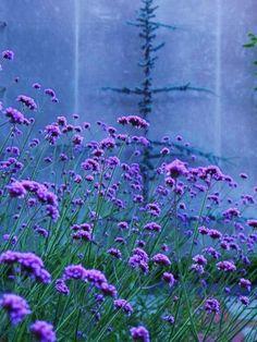 Verbena bonarienses--this reseeds itself--beautiful: