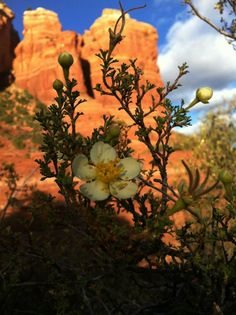 Sedona flowers with Coffee Pot Rock