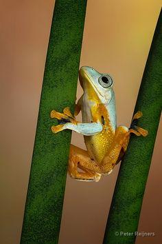 (Tree)frogs