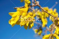 Kowhai Bloom, Spring Royalty Free Stock Photo
