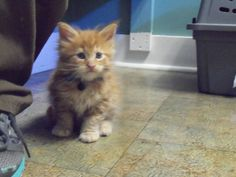 Look at this cutie here for a visit. He won't be this small for long. He is a Maine Coon kitten from Kissycoons here with his brothers and sisters for vaccines. https://www.facebook.com/kissycoons?ref=profile