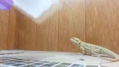 ★ Delicious Brown ★ Feeding a bearded dragon would normally make for a boring video but the captions turn it into something amazing. https://www.facebook.com/video.php?v=1060791510603874&set=vb.776792315670463&type=2&theater