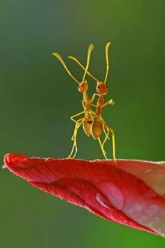 Dancing ants!