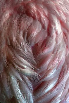 This example of texture is smooth and soft. I pinned it because I imagine that I could feel every part of the soft piece of feather. I Believe In Angels, Pink Feathers, Ostrich Feathers, Angel Art, Angel Wings, Textures Patterns, Pretty In Pink, Favorite Color, Colours