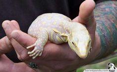 Albino monitor lizard A-Z List of 125 Rare Albino Animals [Pics] Albino slugs by kcinsti. Reptiles And Amphibians, Mammals, Albino Black People, Large Lizards, Rare Albino Animals, Melanism, Deer Photos, Monitor Lizard, Animal Tumblr