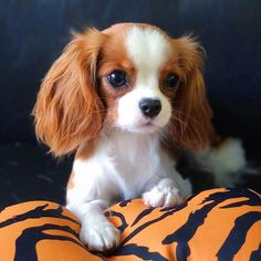 Meet the smallest - and most adorable - Cavalier King Charles in the world! - dogs are family Cute Baby Dogs, Cute Little Puppies, Cute Dogs And Puppies, Cute Little Animals, Adorable Dogs, Puppies Puppies, Rottweiler Puppies, Beagle Puppy, Bulldog Puppies